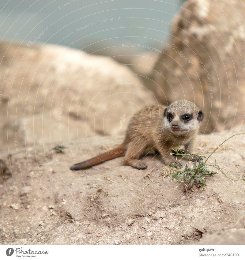 Mini-Erdmännchen Natur Sommer Tier Spielen Tierjunges braun Felsen Wildtier sitzen Beginn Wachstum niedlich beobachten Neugier Freundlichkeit Tiergesicht