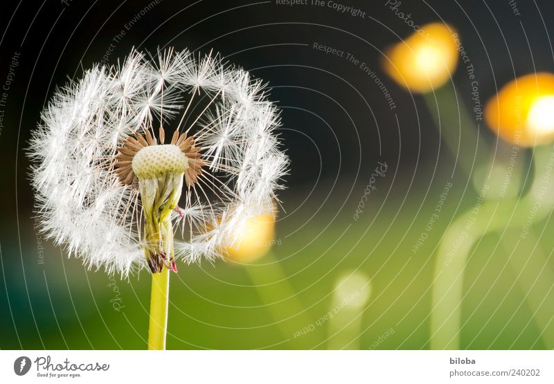 Anpusten weiß grün Pflanze schwarz gelb Blüte Zeit ästhetisch Zukunft Vergänglichkeit Löwenzahn Zusammenhalt blasen Samen verlieren Wildpflanze