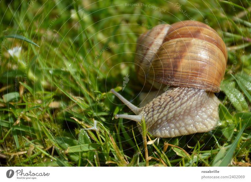 kleiner Schleimer - Schnecke nah im Gras rechts grün Tier ruhig Wiese Garten braun Zufriedenheit Park Wildtier Gelassenheit Umzug (Wohnungswechsel) Mobilität