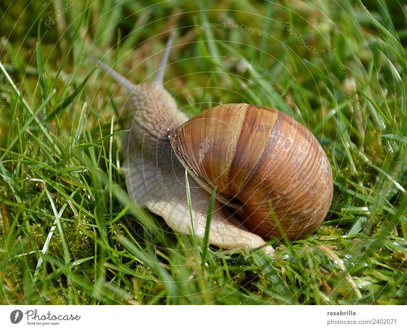 Umzug mit Haus - Weinbergschnecke unterwegs grün Tier ruhig Wiese natürlich Gras Garten braun gehen Park Wildtier Gelassenheit gemütlich Schnecke krabbeln