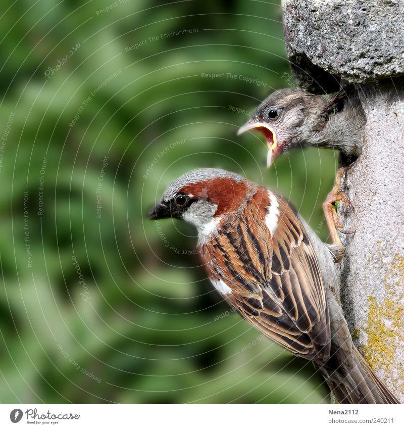 Pubertierenden Spatz Natur Tier Vogel Tiergesicht 2 Tierjunges Tierfamilie füttern Kommunizieren Aggression frech natürlich Wut braun grün Haussperling