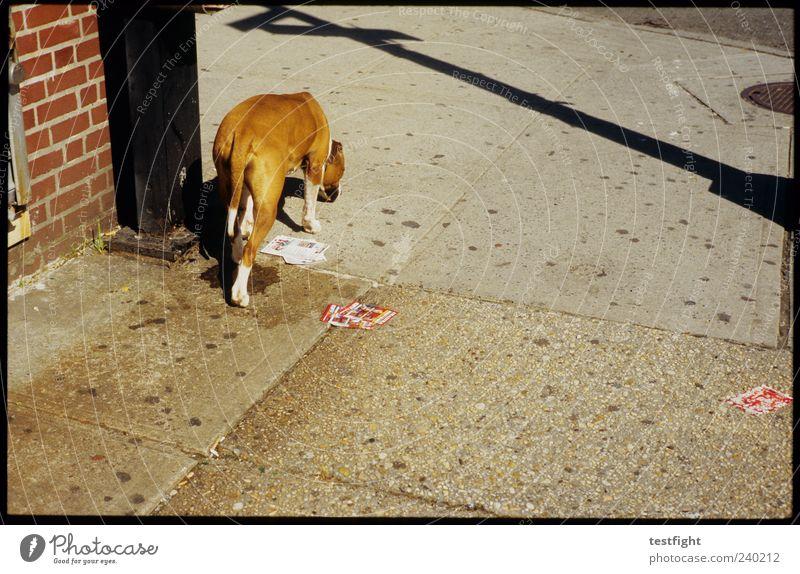 take me to broadway Tier Hund 1 authentisch Schatten Geruch Bürgersteig unterwegs laufen Farbfoto Außenaufnahme Menschenleer Tag Sonnenlicht Straßenhund gehen