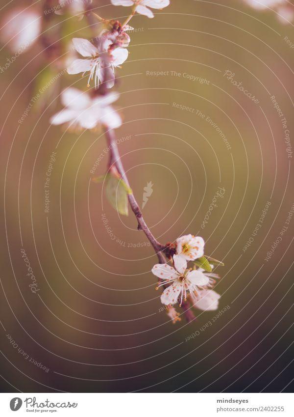 Kirschblüte im Abendlicht Natur Pflanze grün Baum Frühling Blüte Garten rosa träumen ästhetisch frisch Blühend Duft hängen Vorfreude Frühlingsgefühle