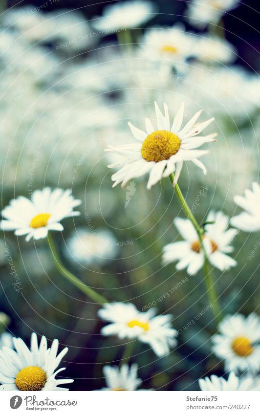 Margeriten Natur Pflanze Sommer Schönes Wetter Blume Blüte Garten Park beobachten Blühend Duft genießen Blick ästhetisch einfach frei Fröhlichkeit frisch hell