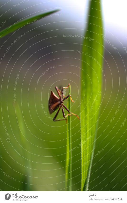 krabbelnde wanze Schönes Wetter Pflanze Gras Wiese Wildtier Käfer 1 Tier außergewöhnlich natürlich grün Natur Wanze Beine Farbfoto Außenaufnahme Nahaufnahme