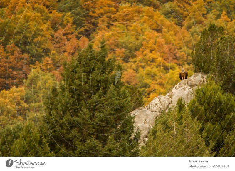 Gänsegeier Berge u. Gebirge Bildung Biologie Erwachsene Umwelt Natur Landschaft Tier Herbst Wald Wildtier Vogel Geier 1 Stein natürlich Tierliebe Farbe