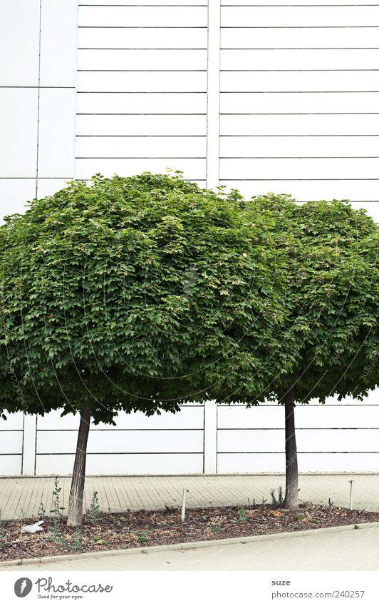 Geschlechtsreife Großstädter zur Paarungszeit Natur grün Baum Umwelt Wand Mauer Fassade Wachstum trist rund einfach Baumkrone