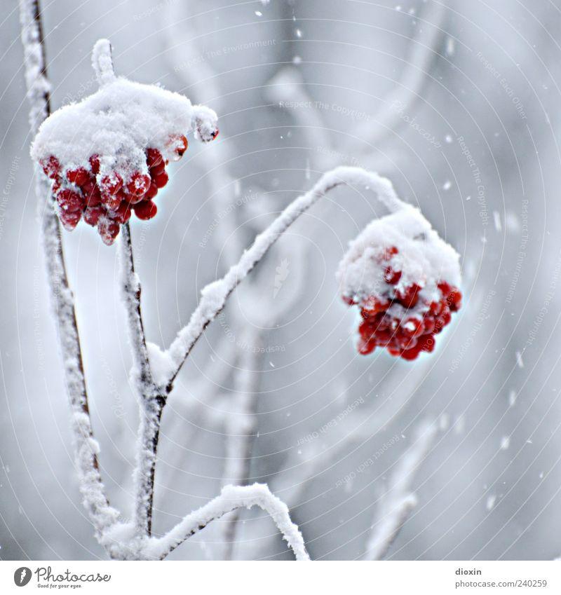Vogelbeeren-Eis Winter Frost Schnee Pflanze Sträucher Wildpflanze Beeren Zweige u. Äste hängen kalt natürlich Natur Farbfoto Nahaufnahme Menschenleer