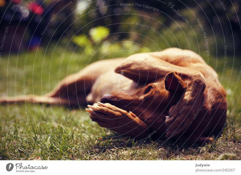 Ich hör dich nicht! Hund Natur Sommer Tier Erholung Umwelt Wiese Kopf Stimmung braun Zufriedenheit liegen außergewöhnlich niedlich Gelassenheit Haustier