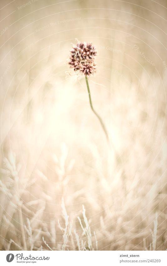 Zartes Wiesenbild mit einer Blume in der Mitte Umwelt Natur Pflanze Sommer Gras Blüte verblüht ästhetisch außergewöhnlich braun rosa schön Gedeckte Farben