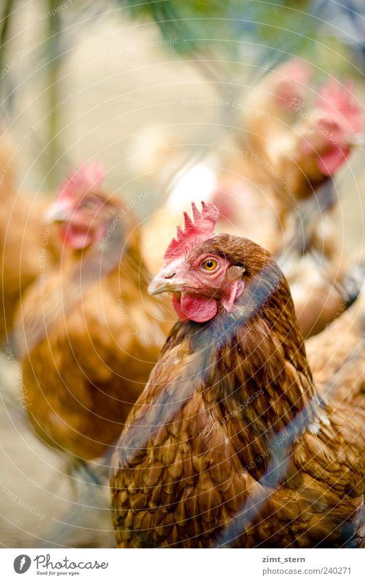 Auge in Auge mit Frau Huhn Tierhaltung Nutztier Tiergesicht Haushuhn Tiergruppe Blick braun rot Bauernhof Gackern mehrfarbig Außenaufnahme Menschenleer