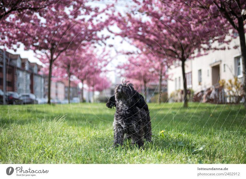 Kleiner Hund unter Kirschblüten Haustier 1 Tier PKW atmen beobachten Blühend Erholung genießen stehen einfach Glück Unendlichkeit schön natürlich niedlich