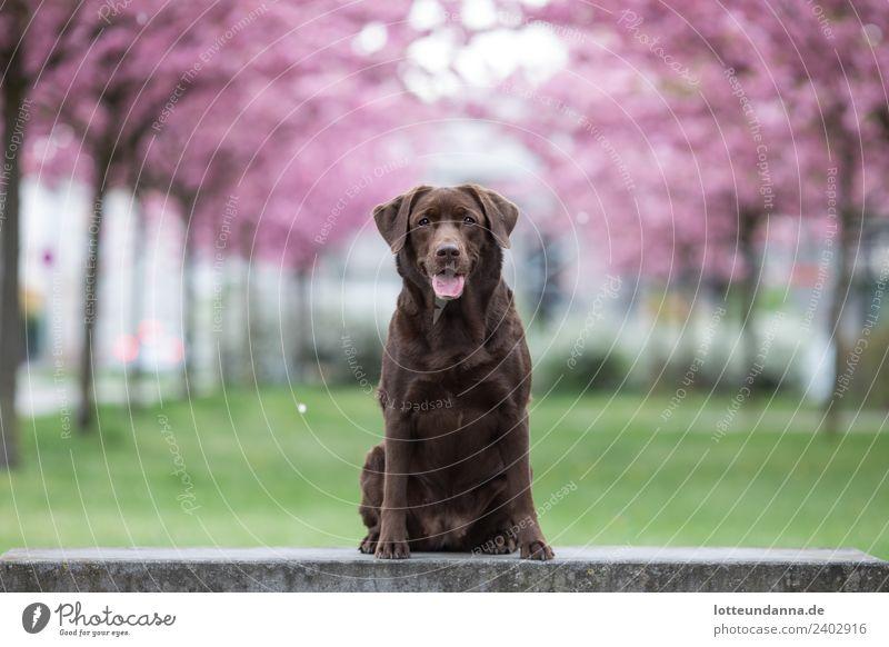 Brauner Labrador Retriever sitzt vor Kirschblüten Baum Haustier Hund 1 Tier genießen warten Farbfoto Außenaufnahme Morgen Schwache Tiefenschärfe