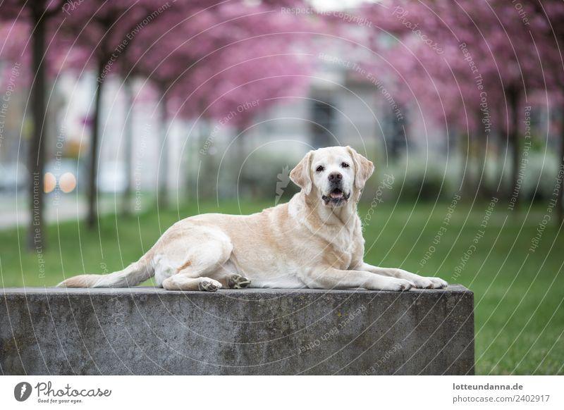 Gelber Labrador Retriever liegt vor Kirschblüten Baum Haustier Hund 1 Tier liegen Farbfoto Außenaufnahme Morgen Schwache Tiefenschärfe Zentralperspektive