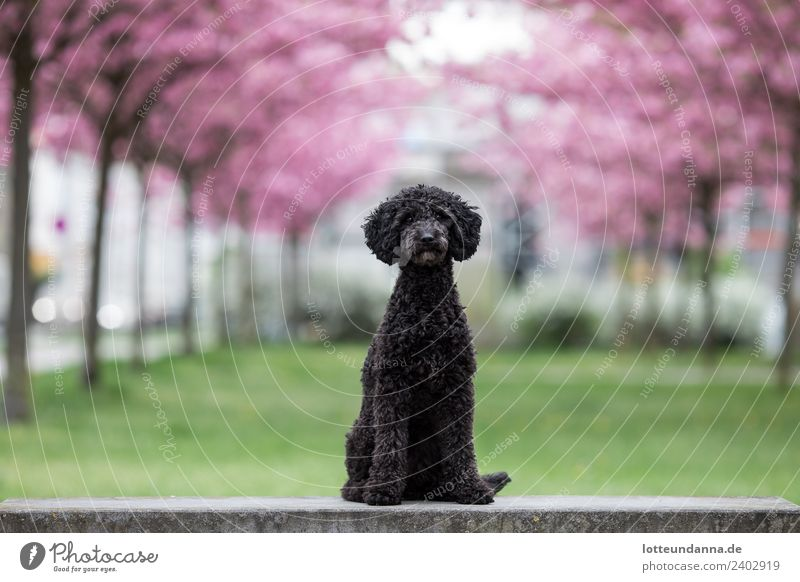 Pudel unter Kirschblüten Hund Tier schwarz Tierjunges rosa genießen Haustier Frühlingsgefühle Tierliebe