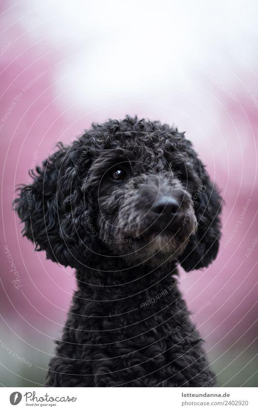 Pudel-Portrait Hund schön Tier schwarz Glück rosa träumen authentisch warten niedlich beobachten Haustier Fell hören Locken Tiergesicht