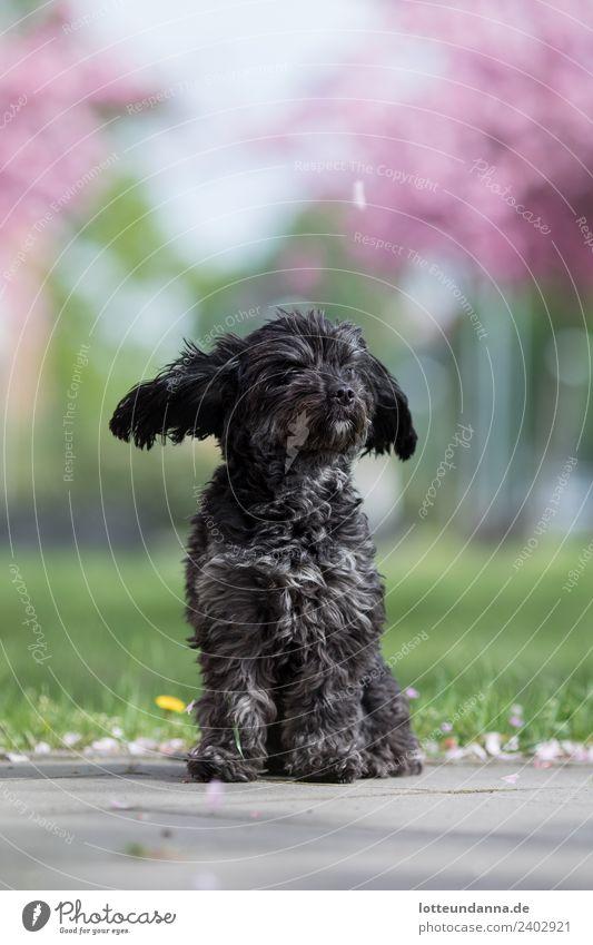Fliegende Öhrchen und Kirschblüten Tier Haustier Hund Tiergesicht Fell Pfote 1 beobachten Blühend Duft fliegen genießen sitzen träumen verblüht frech