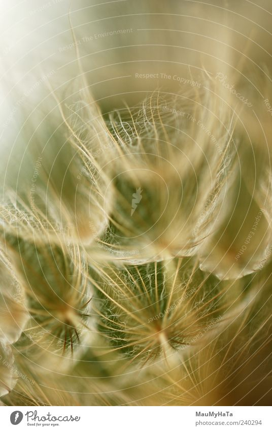 Löwenzahn Natur Pflanze Urelemente Sommer Blume Gras Blüte Wildpflanze Garten Park Feld chaotisch Energie Farbe Freiheit Kunst Ferne Teamwork Farbfoto