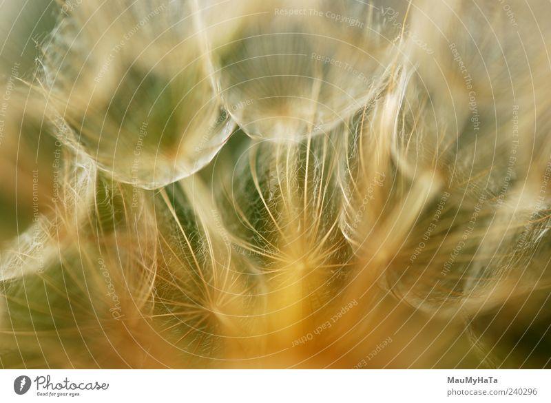 Löwenzahn Natur Pflanze Urelemente Sommer Blume Gras Blatt Blüte Wildpflanze Garten Park Feld chaotisch Farbe Freiheit Kunst Rätsel Kraft Teamwork Farbfoto