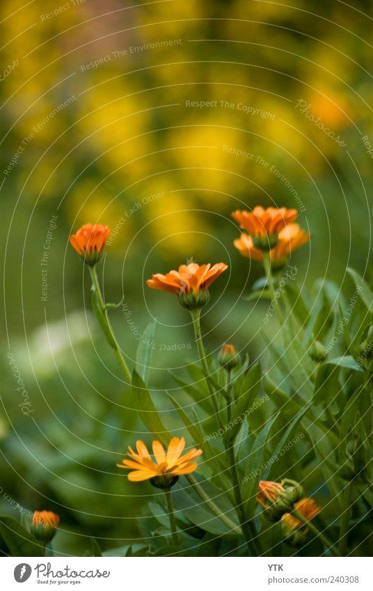 Visible Scent Natur grün Pflanze Sommer Blume Blatt Umwelt Landschaft gelb Wiese Gras Frühling Garten Blüte Park Wetter