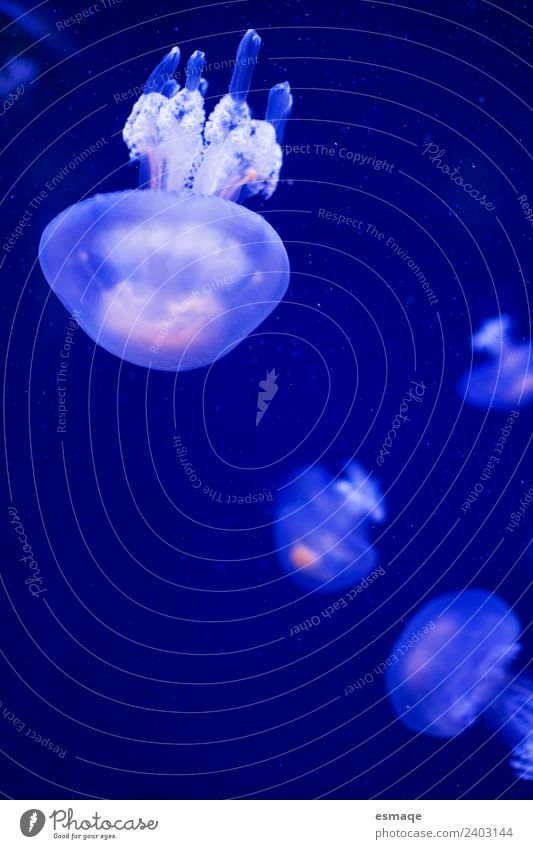 Natur blau Wasser Tier Tiergruppe Aquarium Qualle Tierfamilie