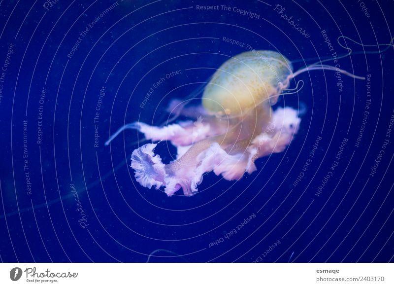 Quallen Natur Wasser 1 Tier fantastisch blau Unterwasseraufnahme Menschenleer