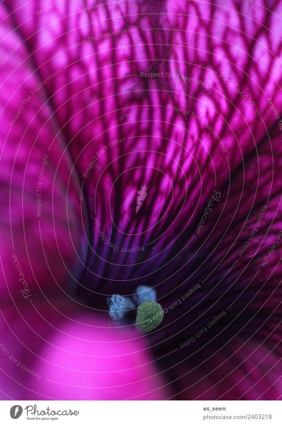 Petunie in pink Stil Design exotisch Wellness harmonisch Sinnesorgane Duft Umwelt Natur Pflanze Frühling Sommer Blume Blüte Topfpflanze Balkonpflanze Staubfäden