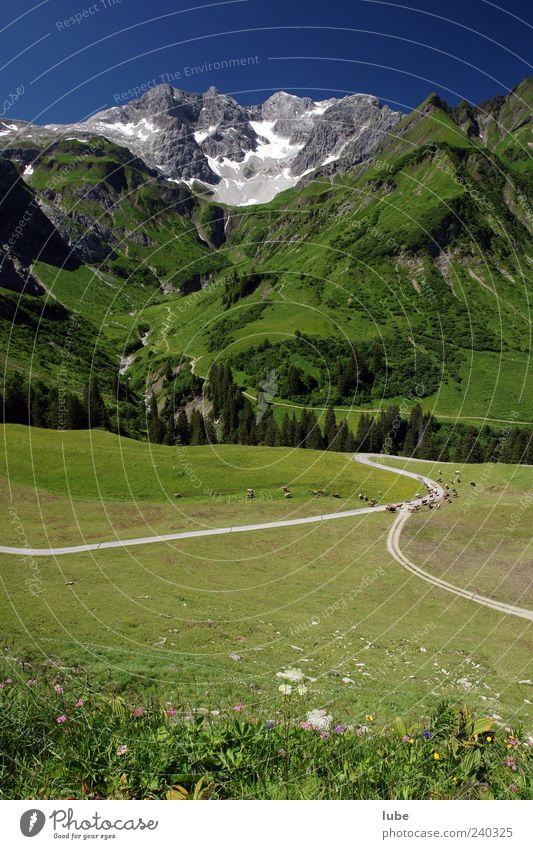 Viehansammlung Landwirtschaft Forstwirtschaft Natur Landschaft Wolkenloser Himmel Sommer Schönes Wetter Gras Alpen Berge u. Gebirge Gipfel Schneebedeckte Gipfel