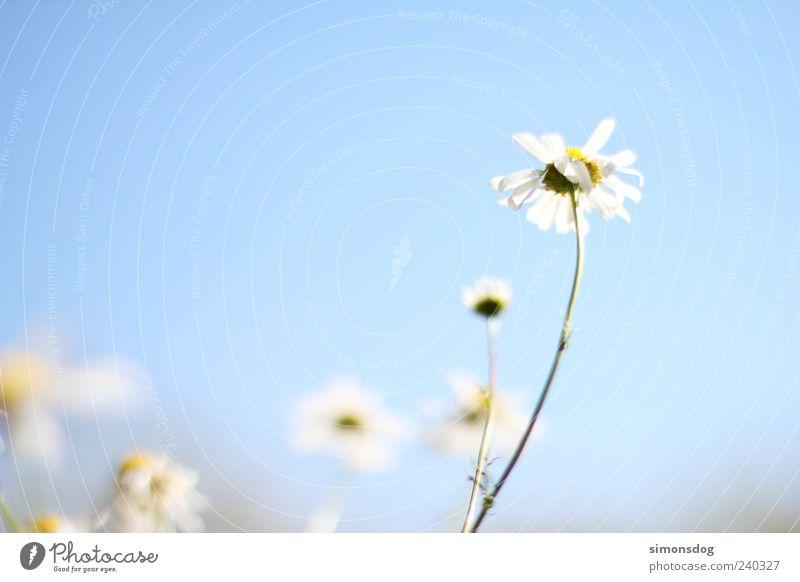 himmelblume Himmel Natur weiß Pflanze Sommer Blume Blüte hell Kraft natürlich elegant frisch ästhetisch leuchten Hoffnung einzigartig
