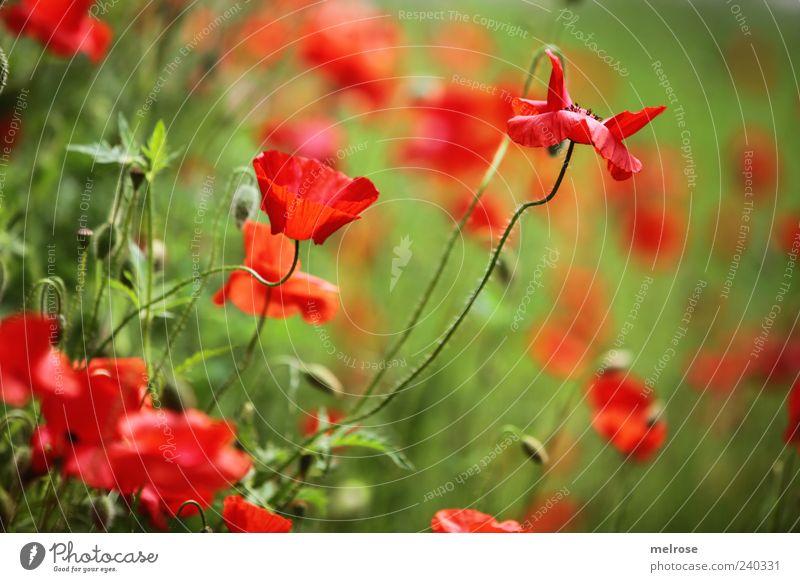 MOHNTRAUM Natur Pflanze Sonnenlicht Sommer Blume Wildpflanze Klatschmohn Mohn Blüte Wiese Feld grün rot Farbfoto Außenaufnahme Menschenleer Textfreiraum rechts