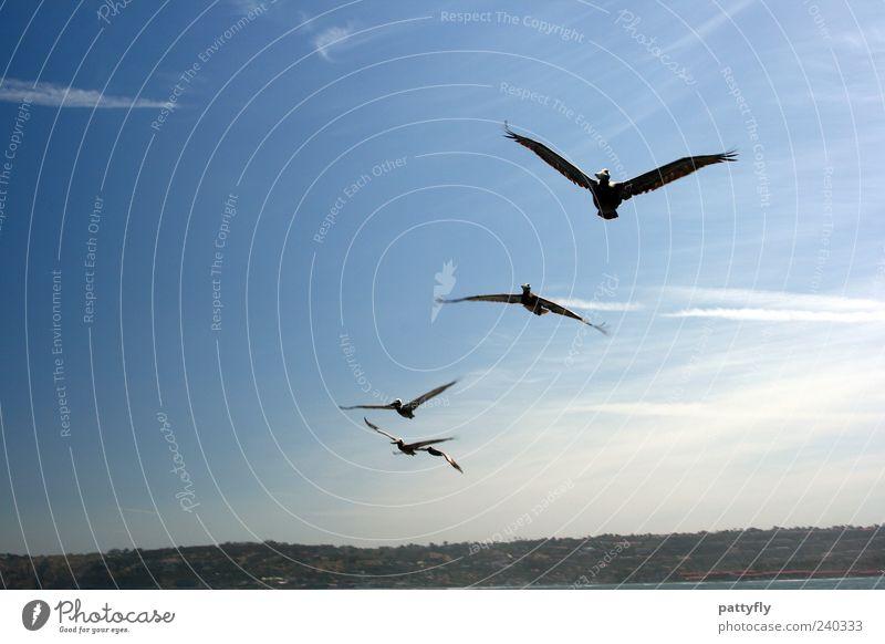 Anflug... Himmel Tier Freiheit fliegen Wildtier elegant frei Flügel Tragfläche Leichtigkeit Schwarm Pelikan mehrere