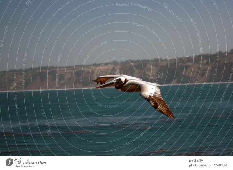Einzelgänger... Natur Wasser Meer Tier Wildtier Vogel Pelikan 1 fliegen authentisch elegant schön Farbfoto Außenaufnahme Textfreiraum oben Tag Tierporträt