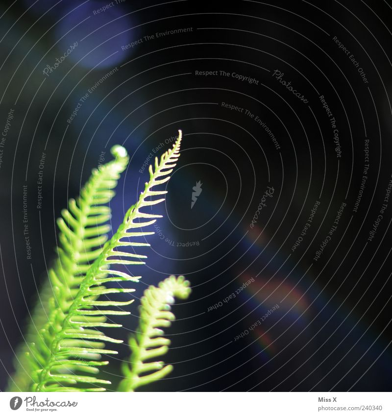 Farn Natur grün Pflanze Sommer Blatt Frühling Wachstum Grünpflanze Wildpflanze Farnblatt Vor dunklem Hintergrund
