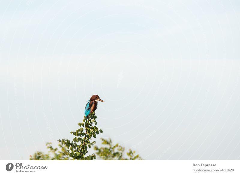 Eisvogel Natur Tier Vogel fliegen Wildtier sitzen Feder Schönes Wetter warten beobachten Wolkenloser Himmel Jagd Schnabel Safari Eisvögel