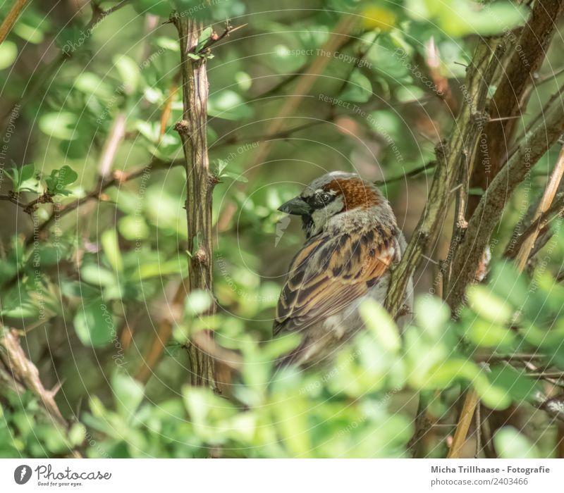 Spatz versteckt im Strauch Natur grün Sonne Tier Blatt gelb Umwelt Auge natürlich Vogel braun orange leuchten Wildtier Feder Sträucher