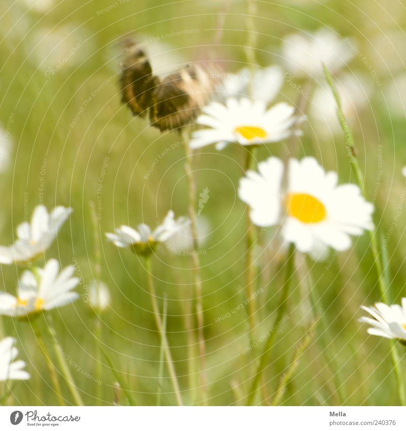 Have a nice day Umwelt Natur Pflanze Tier Frühling Sommer Blume Gras Blüte Margerite Wildtier Schmetterling 1 Blühend fliegen frei schön natürlich grün