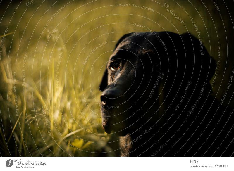 treue Seele Hund grün schön Tier schwarz Nase einzigartig Fell Tiergesicht Haustier Labrador Hundeschnauze Hundeblick Hundeauge