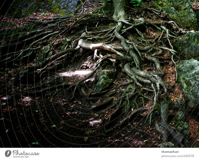 Halt Natur Erde Baum natürlich bizarr Wachstum Wurzel Baumwurzel Farbfoto Außenaufnahme Detailaufnahme Tag Schatten Kontrast Waldboden