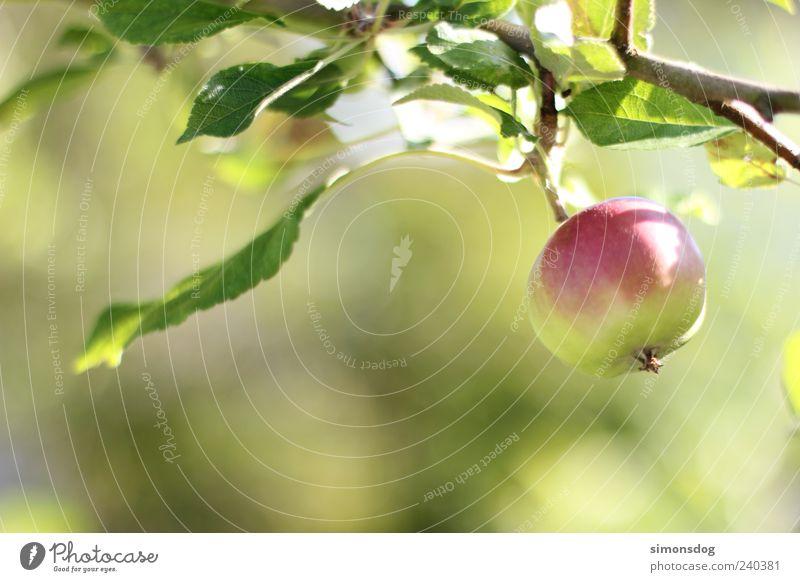apfelfrisch grün rot Blatt Frucht frisch rund Apfel hängen Bioprodukte sauer Apfelbaum knackig Obstbaum Obstbau Eigenanbau
