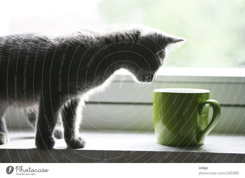 die Welt entdecken Katze grün schwarz Gefühle Tierjunges Stimmung stehen niedlich beobachten Neugier entdecken Tasse Duft Haustier Geruch Interesse