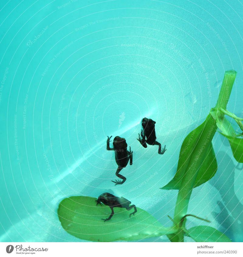 Auf die Plätze, fertig, los! Wasser grün Tier klein Tierjunges Tiergruppe türkis Frosch winzig