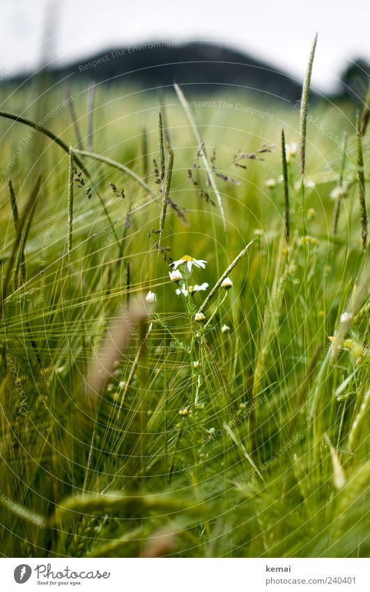 Reifendes Feld Natur grün Pflanze Sommer Umwelt Gras Blüte Feld Wachstum Grünpflanze Gerste Nutzpflanze Wildpflanze Kamille Getreide