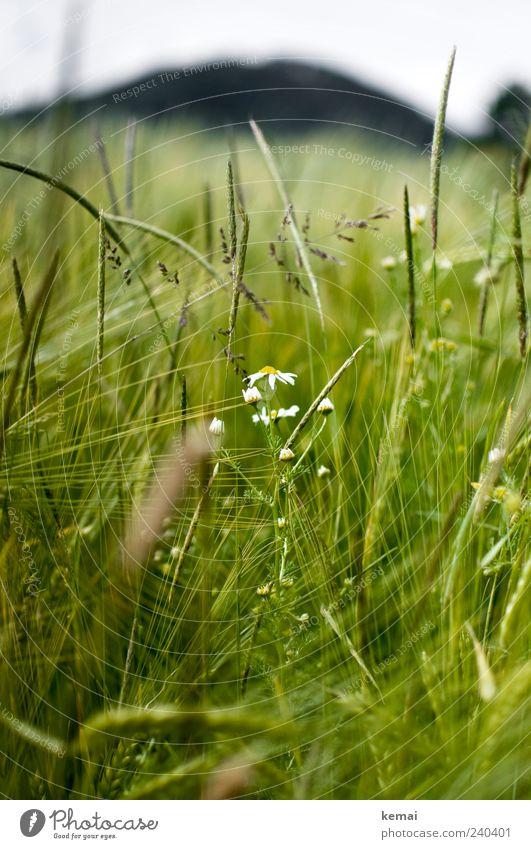 Reifendes Feld Umwelt Natur Pflanze Sonnenlicht Sommer Gras Blüte Grünpflanze Nutzpflanze Wildpflanze Gerste Kamille Wachstum grün Farbfoto Außenaufnahme