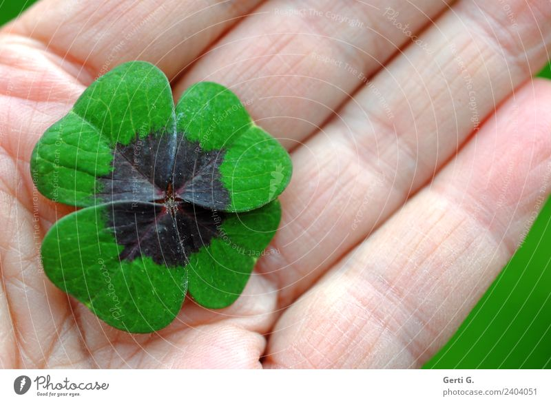 ...liegt auf der Hand Grünpflanze Glücksklee Kleeblatt Glückskleeblatt Zeichen Glücksbringer grün Gefühle Zufriedenheit friedlich ruhig Blatt Handinnenfläche