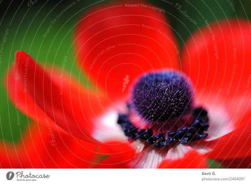 du süßes rotes WindRöschen Frühling Blume Anemonen natürlich schön blau grün Gefühle Stimmung Frühlingsgefühle Natur Stil Blüte Blütenblatt Farbfoto