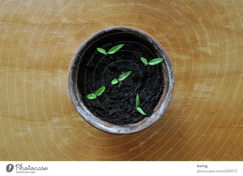 Chili Pflanze zart Blumentopf zierlich Nutzpflanze Setzling Keim Topfpflanze keimen Torf