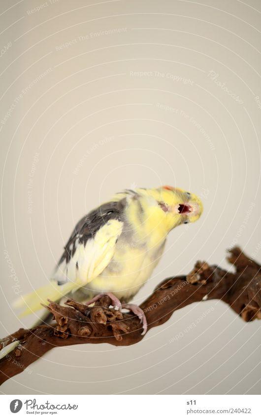 'oooooooh du fröhliche...' Tier Haustier Vogel 1 Brunft schaukeln singen gähnen Cockatiel Feder gelb grau Schnabel drehen Ast Gleichgewicht Krallen Flügel