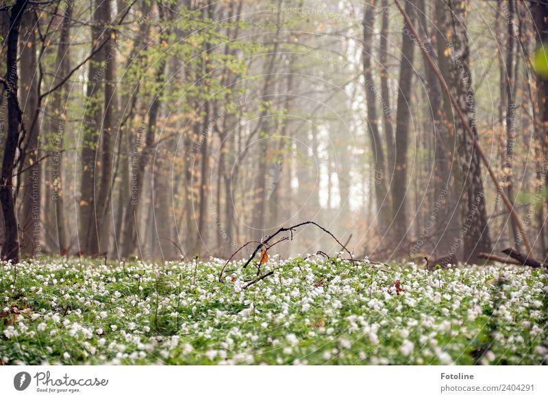 Frühling im Wald Umwelt Natur Landschaft Pflanze Urelemente Erde Schönes Wetter Nebel Baum Blume Blüte Grünpflanze Wildpflanze Duft frisch hell natürlich schön
