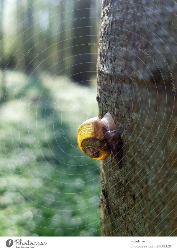 Hoch hinaus Umwelt Natur Pflanze Tier Frühling Schönes Wetter Baum Wildpflanze Wald Wildtier Schnecke 1 Duft frei hell klein nah natürlich gelb grün