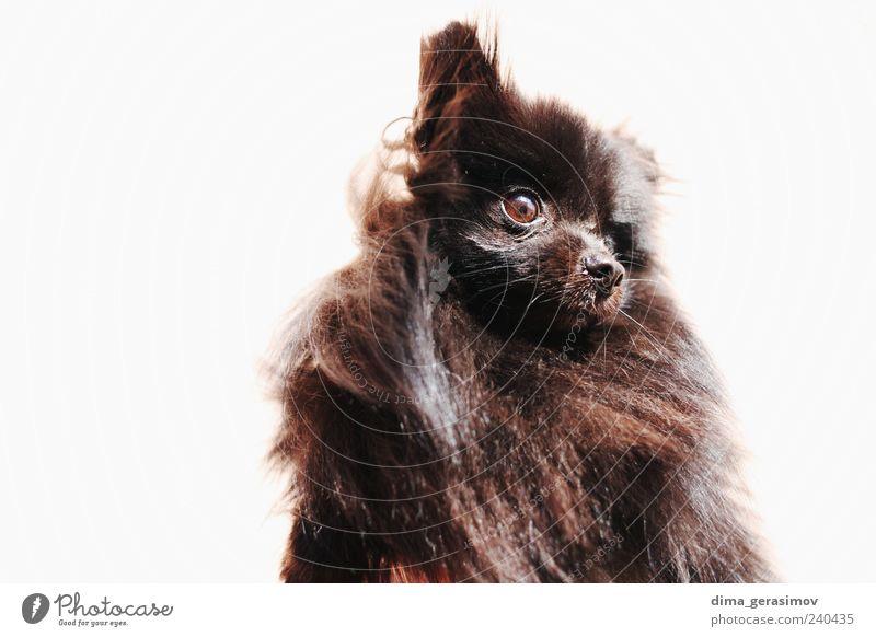 schön weiß schwarz Tier Hund gefährlich Tiergesicht Jagd Stress silber Haustier Wahrheit Tierjunges